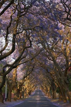 Jacaranda City Tree Tunnel - Pretoria, South Africa - we lived and walked along this avenue. Beautiful World, Beautiful Places, Tree Tunnel, Out Of Africa, Pretoria, Tree Forest, To Infinity And Beyond, Parcs, Beautiful Landscapes