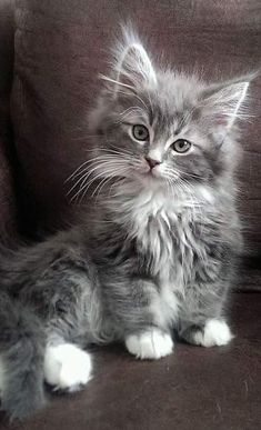 Most up-to-date Photographs cats and kittens maine coon Ideas While you get a whole new cat within the house, it is deemed an fascinating moment, as well as for quite a fe Cute Baby Cats, Cute Cats And Kittens, Cute Funny Animals, Cute Baby Animals, Kittens Cutest, Bengal Kittens, Maine Coon Kittens, Funny Cats, Cute Fluffy Kittens