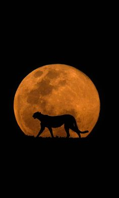 The Cheetah & The Moon / by Mario Moreno via 500px.com / silhouetted against the Kalahari full moon. This is s composite image just added to my growing collection of 'Wildlife & The Moon'. Both images blended here were shot in the Kgalagadi Transfontier Park in South Africa