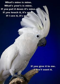 This is one reason why they're little shits. they want what they want, and they are tenacious little Turkeys. People think pitbulls are tenacious, they should own a parrot. / Also, worse than cats! Funny Birds, Cute Birds, Pretty Birds, Beautiful Birds, Parrot Pet, Parrot Toys, Parrot Bird, Funny Parrots, African Grey Parrot
