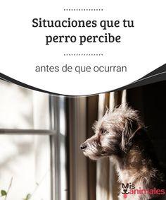 Situaciones que tu perro percibe antes de que ocurran  Te contamos de qué manera un perro percibe ciertas situaciones o hechos que están por acontecer. El oído y el olfato son sus grandes aliados en estos temas. #situaciones #perros #curiosidades #percibe