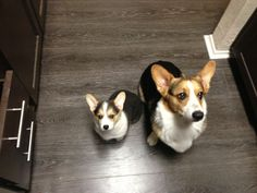 Ok little guy, look up like this - look pathetic and hungry, throw in a little smile, then you are golden!  Corgi mentor