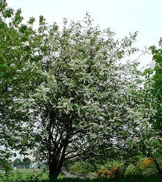 Image result for bird cherry tree
