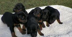 Main Page |Professionally Trained Doberman Dogs and Puppies for Sale 573-299-4010 |Doberman Pinscher Breeders | Doberman Pinscher | European Doberman Puppies | Schutzund | Trained Dobermans for sale