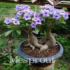 Image result for adenium obesum bonsai