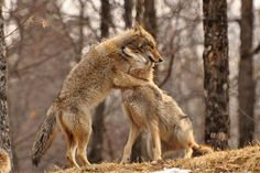 Beautiful Wolves