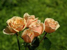 Rosas Color Melocoton