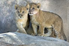 Lion cubs debut in Denver, Thanksgiving travel begins, Amazon prepares for Black Friday sales and more.