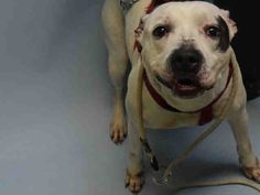 DOUX - A1109131 - - Brooklyn  TO BE DESTROYED 04/22/17 **NEEDS A NEW HOPE RESCUE TO PULL** -  Click for info & Current Status: http://nycdogs.urgentpodr.org/doux-a1109131/