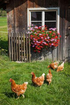 glückliche Hühner biem Ferienhof Hagenauer in #Oberbayern #bauernhofurlaub ein Erlebnis