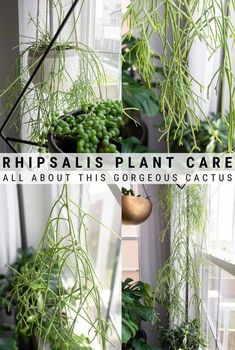 Rhipsalis mistletoe cactus care is easy and rewarding. Learn how to help these unique-looking plants grow beautifully in your home. Propagate Succulents From Leaves, Succulent Soil, House Plants Decor, Plant Decor, Rustic Elegance Decor, Cactus Care, Diy Plant Stand, Hanging Pots, Wallpaper Decor