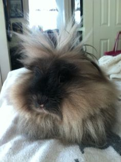 Snickers-a Lion Head Rabbit Exotic Animals, Exotic Pets, Funny Bunnies, Cute Bunny, Lionhead Rabbit, Goat Care, Raising Rabbits, Some Bunny Loves You, Cuddle Buddy