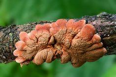Nahuby.sk - Fotografia - mäsovka lišajníková Hypocreopsis lichenoides  (Tode) Seaver