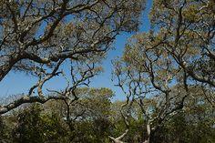 Grayton's beautifully twisted trees