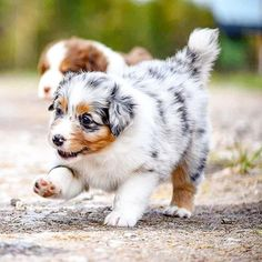 OMG🙈 only one week left 😭❤ 📷 Australian Shepherds, Australian Shepherd Puppies, Aussie Puppies, Cute Dogs And Puppies, Doggies, Cute Little Animals, Cute Funny Animals, Cute Animal Pictures, Dog Pictures