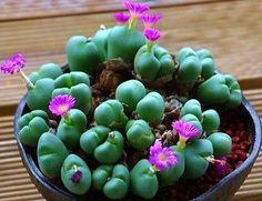 Argyroderma-framesii-rare-mesembs-exotic-succulent-cactus-seed-stones-20-SEEDS