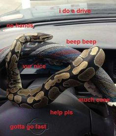 Snake provocatively shows us to drive