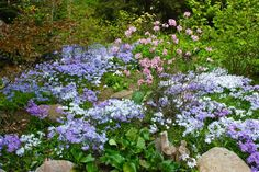 Pink Rhododendron vaseyi and other flowering shrubs are surrounded by a carpet of woodland phlox, including Phlox stolonifera 'Sherwood Purple'. Chanticleer Garden, Wayne, PA
