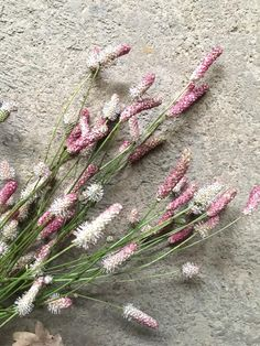 Sanguisorba Grass