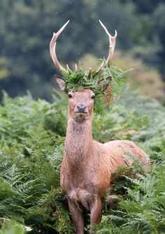 King Stag! A young red deer w ferns wrapped around its antlers amongst undergrowth in Bushy Park, London.