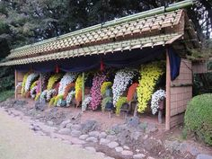 In Tokyo, there is a garden of chrysanthemums. This is a display of mums that have been trained to grow in a waterfall shape.