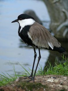 The Spur-winged Lapwing or Spur-winged Plover (Vanellus spinosus) is a lapwing species, one of a group of largish waders in the family Charadriidae. It breeds around the eastern Mediterranean, and in a wide band from sub-Saharan west Africa to Arabia.