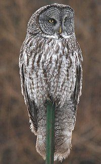 20 Fun Facts about Owls - #4. many owl species have asymmetrical ears
