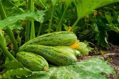 8 хитростей для большого урожая кабачков Small Farm, Cucumber, Garden Design, Home And Garden, Vegetables, Plants, Mushrooms, Gardens, Vegetable Recipes
