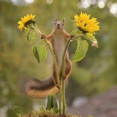 squirrel standing between two sunflowers by Geert Weggen on 500px