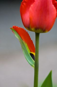 Yo tulip, is that a petal or a leaf? | Community Post: 20 Plants That Are Totally Confused