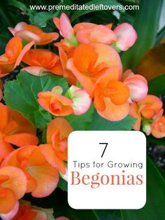 Everything Plants and Flowers: 7 Tips or Growing Begonias