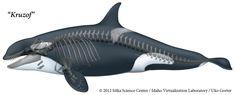 Orcinus orca skeleton - Поиск в Google