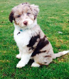 Mini Aussiedoodle