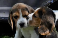 Beagle puppy love! :)