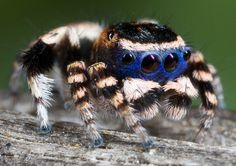 Incredibly detailed photos of the tiny - and beautiful - Australian peacock spider | Business Insider