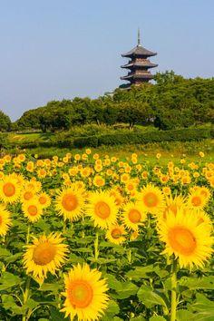 "Sunflower Masaru Mizuko ""Sunflower"" by Masuru Mizuko on Bicchu Kokubunji Temple, Okayama, Japan. Okayama, Beautiful World, Beautiful Places, Japon Tokyo, Sunflowers And Daisies, Sun Flowers, Monte Fuji, Japanese Love, Sunflower Fields"