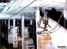 Pit ponies in underground stables, Murton Colliery | Flickr