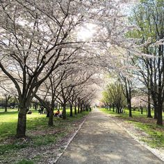 Beautiful cherry blossoms at the Centennial Arboretum in Philadelphia's West Fairmount Park (Photo by @phillylovenotes)