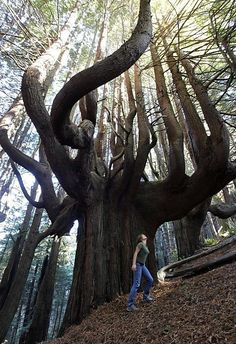 Funny pictures about Giant Tree In Shady Dell. Oh, and cool pics about Giant Tree In Shady Dell. Also, Giant Tree In Shady Dell photos. The Places Youll Go, Places To See, Beautiful World, Beautiful Places, Beautiful Forest, All Nature, Amazing Nature, Jolie Photo, Parcs