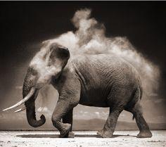 Omdat ik olifanten machtige beesten vind en dit een prachtige foto is. (Nick Brandt)