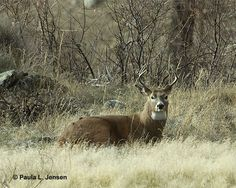 Whitetail Buck, via Flickr