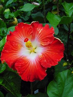 hibiscus and hawthorn tea Rare Flowers, Amazing Flowers, Beautiful Flowers, Hawaiian Flowers, Hibiscus Flowers, Rose Of Sharon, Flower Images, Cool Plants, Trees To Plant