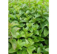 Mentha x piperita Mandarine / Mandarínková mäta, Parsley, Ale, Herbs, Ale Beer, Herb, Ales, Beer, Medicinal Plants
