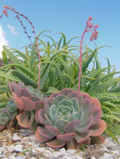 Echeveria and Aloe arborescens succulents