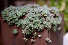 winterhart - Orostachys Boehmeri (Chinese Dunce Caps) succulents I still need to buy.