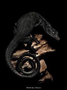 Black tree monitor (Varanus beccarii), found at Aru islands, New Guinea.