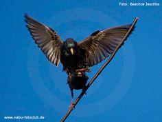 Geselliges Multitalent Der Star (Sturnus vulgaris) https://www.nabu.de/tiere-und-pflanzen/aktionen-und-projekte/stunde-der-gartenvoegel/vogelportraets/03659.html