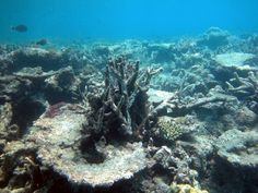 New study finds of Caribbean coral reefs destroyed since Coral Reef Bleaching, Ocean Acidification, Effects Of Global Warming, Natural Man, High Art, Mother Earth, I Tattoo, Caribbean, Nature
