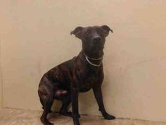 TO BE DESTROYED - 11/07/14 Brooklyn Center   My name is SPITZ. My Animal ID # is A1019341. I am a male br brindle pit bull mix. The shelter thinks I am about 2 YEARS   I came in the shelter as a OWNER SUR on 10/31/2014 from NY 11102, owner surrender reason stated was PERS PROB.
