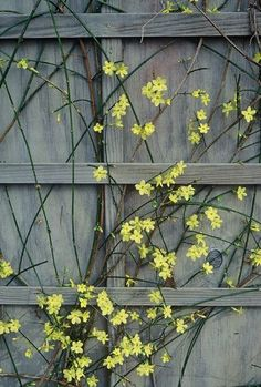 "Jasminum nudiflorum ""winter jasmine"": good for planting on a slope, easy care in the south. Jan and Feb, feb 22"